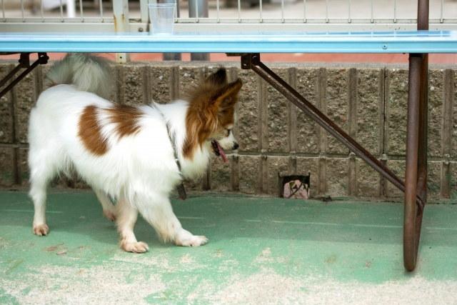 犬 パピヨン