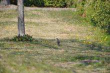 公園 小鳥