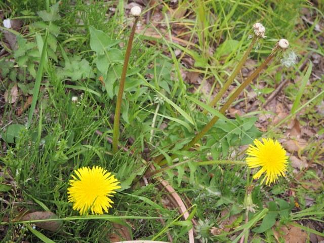 春 タンポポ 花