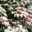 雪 つばき